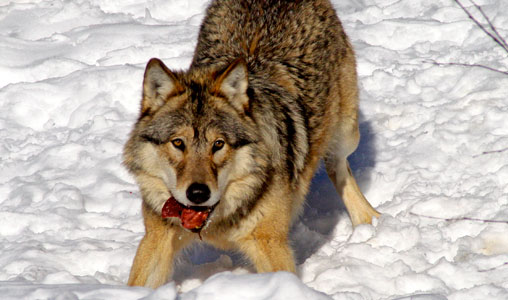 A study seeks farmers' opinions about wolves because they are the most impacted by the predators.