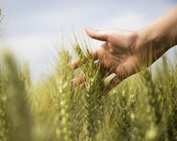 Wheat and hand