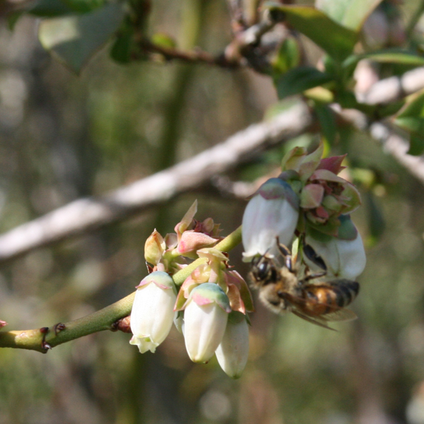 With any luck western Michigan will see plenty of blueberry blossoms--and bees--emerging in the coming weeks.